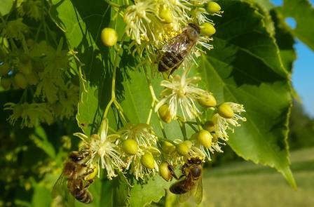 pszczola 1