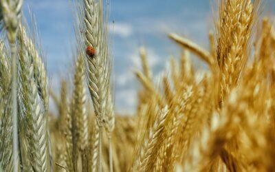 Agencja Restrukturyzacji i Modernizacji Rolnictwa rozpoczęła nabór wniosków o dopłaty do zużytego materiału siewnego i sadzeniowego