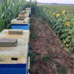 Słonecznik – coraz popularniejsza roślina uprawna i pożytek pszczeli
