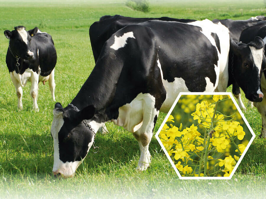 """Zapraszamy do udziału w konferencji """"Śruta rzepakowa jako realna alternatywa dla importu śruty sojowej. Możliwości zwiększenia pasz rzepakowych w żywieniu bydła mlecznego""""."""
